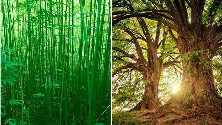 Hanf wird Holz in der Faserindustrie langfristig ersetzen.