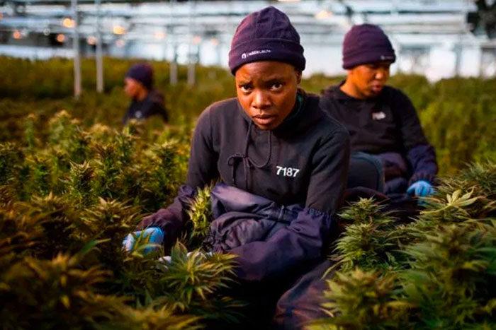 MG Health aus Lesotho will medizinisches Cannabis vor allem in Deutschland absetzen