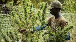 Lesotho MG Health betont soziale Verantwortung und ANspruch auf Deutschen Absatzmarkt für medizinisches Cannabis