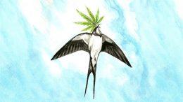 How high can Polish hemp fly?