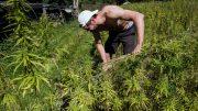 UN declaration backs rural cannabis farming