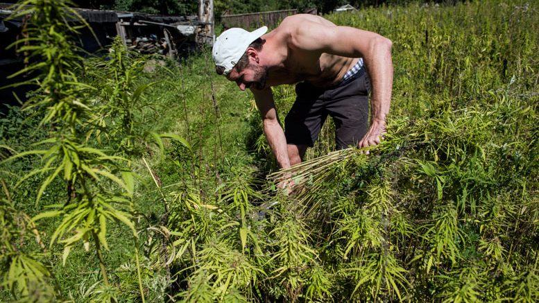 UN declaration backs rural cannabis farming