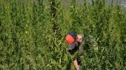 Flourishing hemp field in Greece