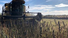 Harvesting hemp on Jersey