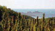 Hemp fields on Jersey in the English channel.