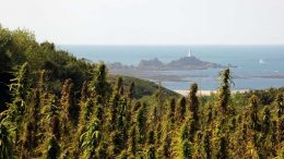 Hemp fields on Jersey in the English channel.
