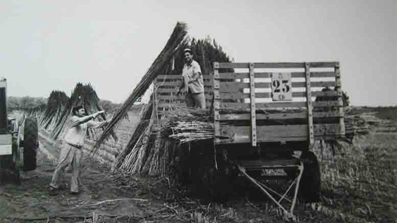 Argentinian farmers bringing in hemp in the 1930s.
