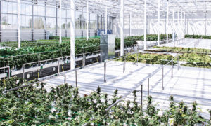 Denmark permanently authorizes production, export of medical cannabis